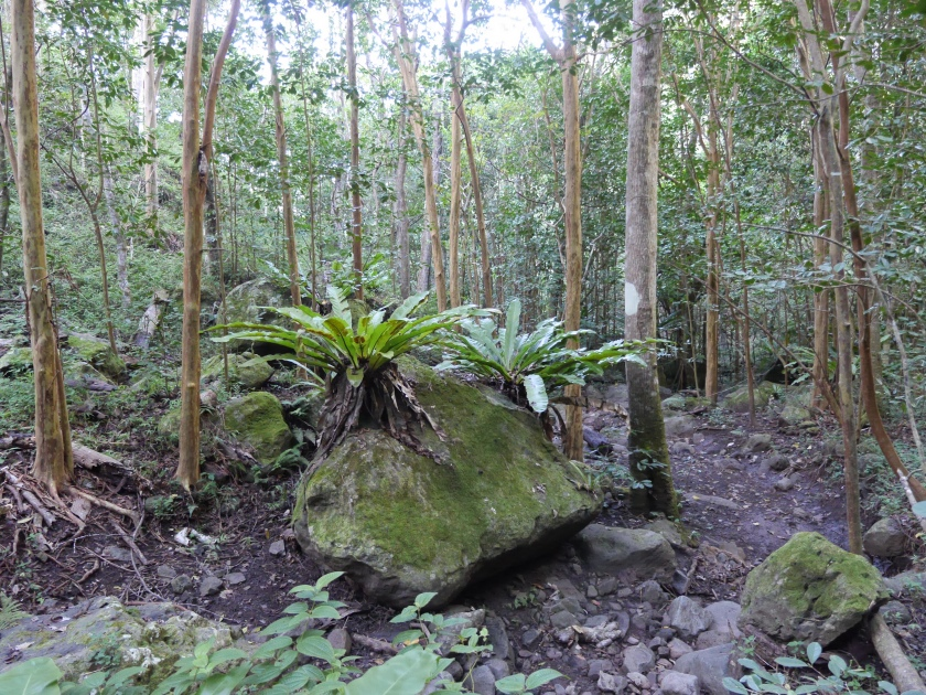 bird nest ferns 005